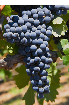 Knowledge of Wine : Major Varieties of Red Grapes