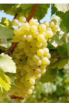 Knowledge of Wine : Major Varieties of White Grapes